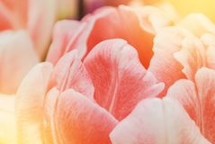 Close-up macro beautiful pink lush vibrant tulip petals, spring stock photo