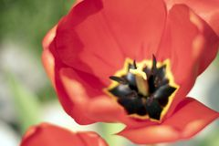 Close up macro beautiful red tulip flower - extremely close up royalty free stock photos