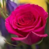 Close up macro of beautiful vibrant red rose Stock Photos