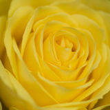 Close up macro of beautiful vibrant yellow rose royalty free stock photos