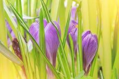 Close-up macro beautiful violet lush vibrant crocuses, spring fl stock image