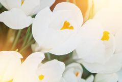 Close-up macro beautiful white lush vibrant white crocuses, spring flowers on soft focus blurred toned white green floral royalty free stock image