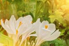 Close-up macro beautiful white lush vibrant white crocuses, spring flowers on soft focus blurred toned white green floral royalty free stock photo