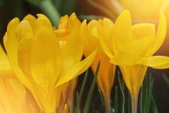 Close-up macro beautiful yellow lush vibrant crocuses, spring fl royalty free stock photo