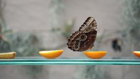 Close-up side view of blue Morpho peleides brown butterfly drinking nectar on cutted citrus fruit on flying butterfly stock footage