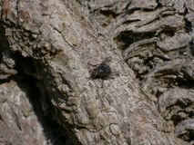 Close up / Macro Bluebottle fly / insect on bark of a horse chestnut tree. royalty free stock images