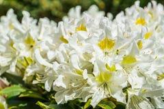 Close up macro bonito das flores brancas do rododendro, planta popular de Ásia, fundo da natureza fotografia de stock royalty free