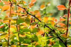 Close up, macro. The branches of the barberry with berries and orange-green leaves. Shrub wet from raindrops