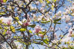 Close up, macro. Branches of blooming pink and white magnolias