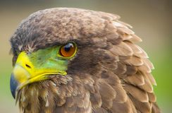 Close up macro of a brown eagle royalty free stock images