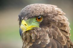 Close up macro of a brown eagle with a green and yellow beak. In a South African game reserve Stock Image