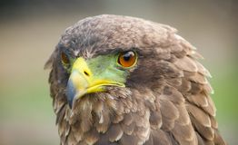 Close up macro of a brown eagle with a green and yellow beak. In a South African game reserve Royalty Free Stock Image