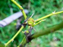 Close up macro Butterfly Caterpillar Stock Image