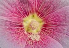 Close up macro carpel  pollen Royalty Free Stock Image