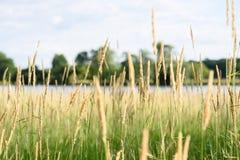 Close up macro da grama alta em conservas de natureza de illinois foto de stock