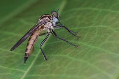 Close up macro da robberfly imagem de stock
