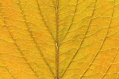 Close-up macro da textura amarela fresca da folha na queda foto de stock