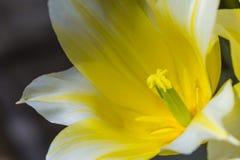 Close up macro da tulipa holandesa amarela do tipo - estame de BUTLIGHT- com pétalas abertas Fotografia de Stock