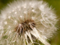 Close up macro dandelion flower head outside in spring day light Royalty Free Stock Photo