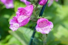 Close up macro de flores da digital imagem de stock