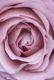 Close up macro de um claro - o lila cor-de-rosa roxo aumentou imagem de stock