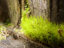 Moss Growing in Forest on Tree Stump Close Up Macro Detail. Close Up macro detail of bright green moss growing on tree stump in forest stock photography