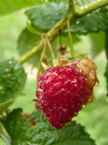Close Up Macro of Water Drops on Red Raspberry Fruit Bush Royalty Free Stock Images