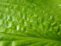 Close Up Macro Detail of Wet Green Hosta Leaf Royalty Free Stock Images