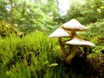 Close Up Macro of White Mushroom Growing in Forest Moss. Close up macro detail of white mushroom growing in forest moss royalty free stock image