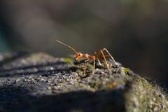 Close up macro disparado de uma formiga do tecelão Imagens de Stock Royalty Free