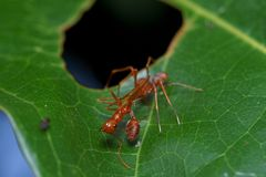 Close up macro jumping spider eats weaver ant, nature background. Insect and wildlife themes Stock Photos