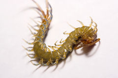 Close-up/Macro in Focus of the centipede on a white background Royalty Free Stock Photo