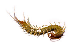 Close-up/Macro in Focus of the centipede on a white background Stock Images