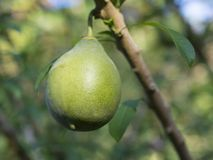 Close up macro green ripe avocado fruit Fuerte Persea americana. On the tree branch with leaves selective focus Royalty Free Stock Image
