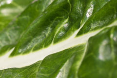 Close up macro of healthy fresh green chard vegetable venation. Close up macro of healthy fresh green chard vegetable Stock Photography