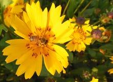 Close up macro of Honey bee on lucrative yellow flower with red patches. Close up macro of Honey bee on from lucrative yellow flower with red patches Stock Photos