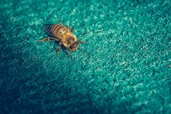Close up macro image of bee on blue carpet.  stock images