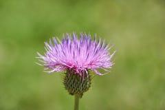 Close up macro of Isolated Beautiful Pink Texas Thistle bloom Cirsium texanum stock photo