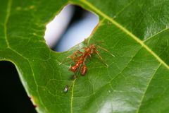 Close up macro jumping spider eats weaver ant, nature background. Insect and wildlife themes Stock Photo
