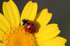 Close up macro of ladybug. Close up macro of red ladybug in yellow flower Royalty Free Stock Photo