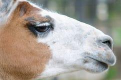 Close up macro lama head Stock Photos