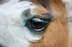 Close up macro lama head Royalty Free Stock Images