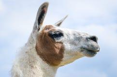 Close up macro lama head Stock Photography