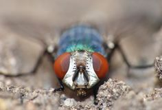 Close up macro shot of a Blowfly Green / Blue in the garden, photo taken in the United Kingdom. Close up macro lens shot of a Blowfly Green / Blue in the garden stock photos