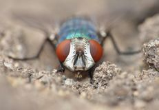 Close up macro shot of a Blowfly Green / Blue in the garden, photo taken in the United Kingdom. Close up macro lens shot of a Blowfly Green / Blue in the garden royalty free stock image