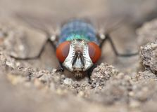 Close up macro shot of a Blowfly Green / Blue in the garden, photo taken in the United Kingdom. Close up macro lens shot of a Blowfly Green / Blue in the garden stock photo