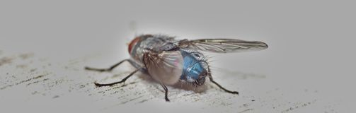 Close up macro shot of a Blowfly Green / Blue in the garden, photo taken in the United Kingdom. Close up macro lens shot of a Blowfly Green / Blue in the garden royalty free stock images