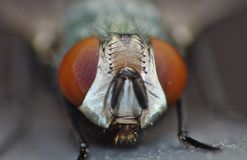 Close up macro shot of a Blowfly Green / Blue in the garden, photo taken in the United Kingdom stock images