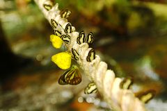 Close up or macro many colorful butterfly on the rope with waterfall background Stock Photos