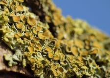 Close Up Macro of Orange Lichen Xanthoria parietina - UK. Close up of yellow / orange Xanthoria parietina, also known as common orange lichen, yellow scale stock photography